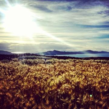 Wheat crops - Amantani Island.