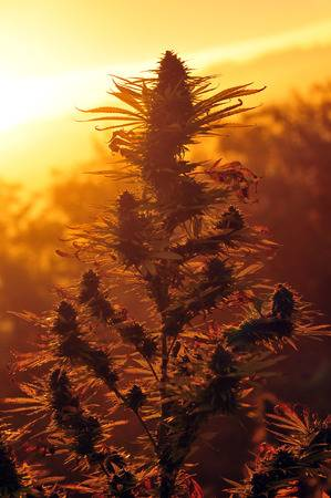 29087492-marijuana-at-sunrise